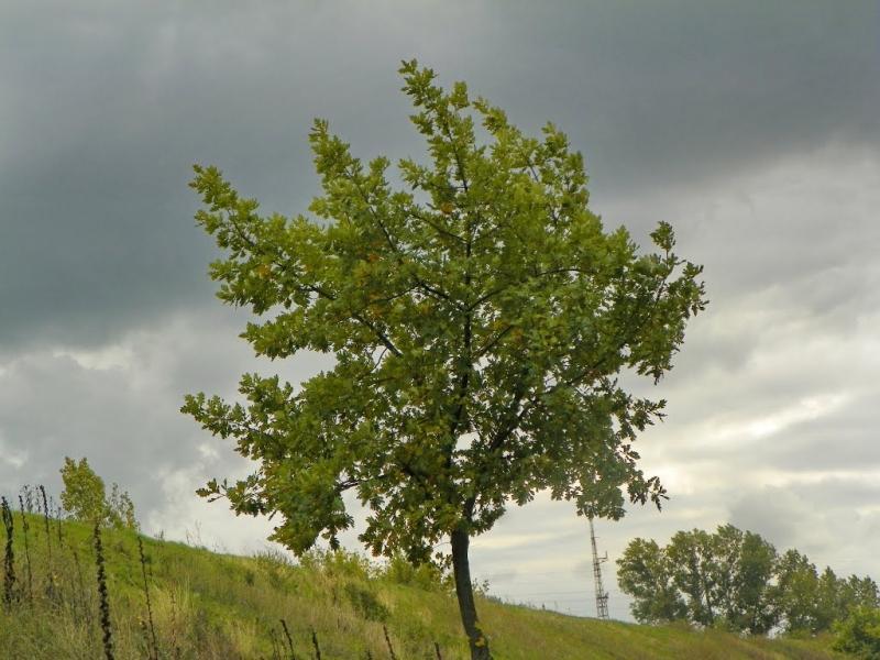 Применение коры дуба для лечения геморроя