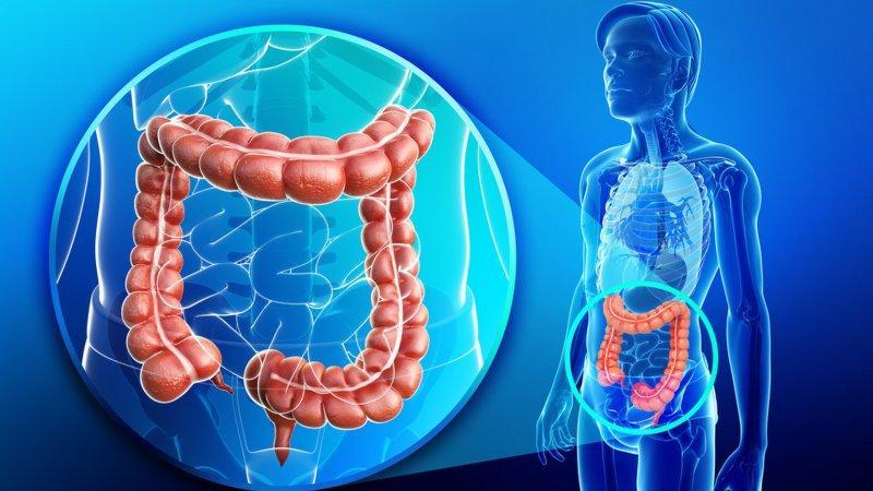 анатомия человека толстой кишки
