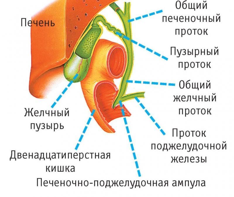 строение желчевыводящей системы